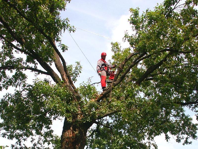 Кронирование деревьев альпинистом