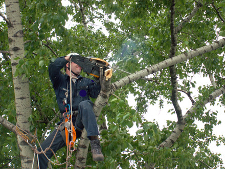 Кронирование ветвей на дереве