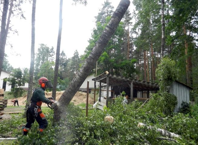 Валка опасных деревьев