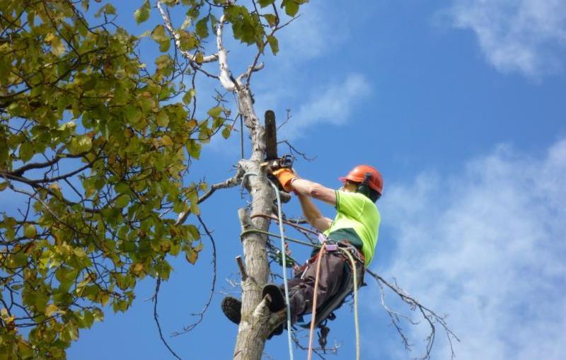 Удаление аварийных деревьев альпинистами